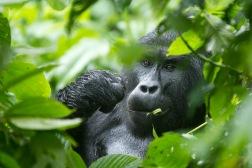 Gorilla Trekking_0283